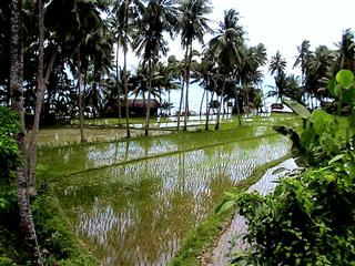 Bohol_Rice_Paddy