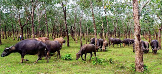 Buffalo Grazing in the Rubber Plantations