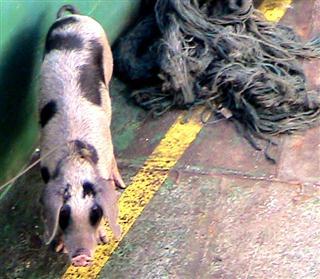 Pig on Ferry