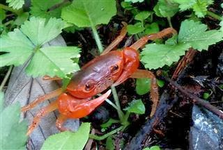 Small Land Crab