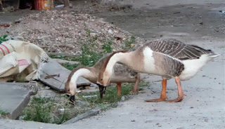 Roadside Geese