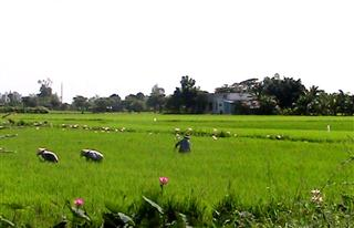 Rice_field_view