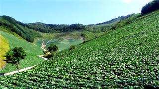 Cabbage Monoculture