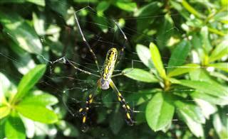 Massive Spiders