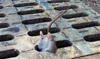 Stuck Rat
