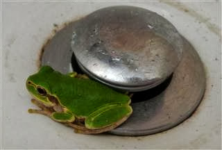 Frog in the Sink