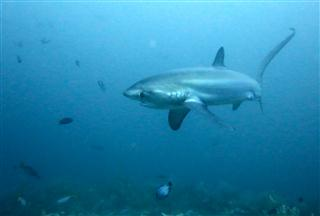 Thresher_Shark
