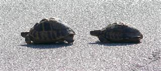 Tortoises Crossing Road