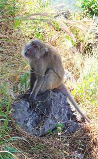 Zwegabin Monkey