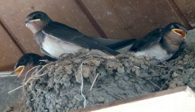 Baby Swallows at our B & B