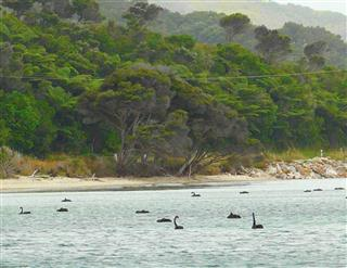 Black Swans at Farewell Spit