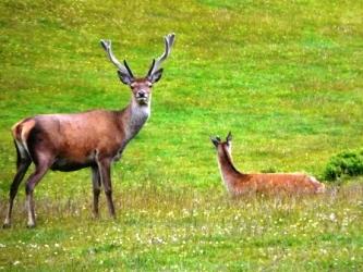 Jura Deer