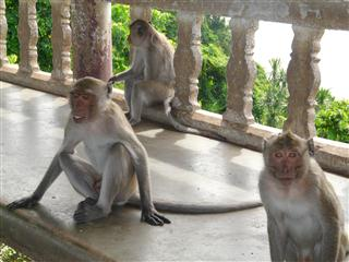 Macau Monkeys