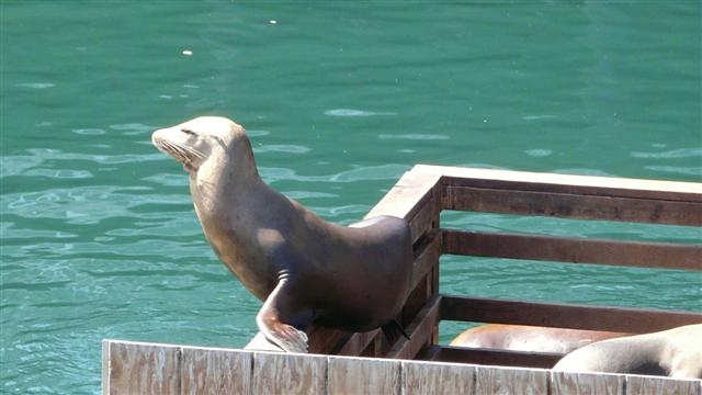 Sealions in Monterey Harbour