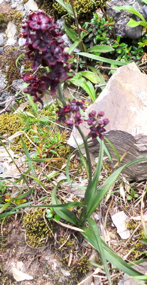 Mountain Orchid