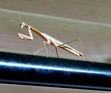 Praying Mantis in the Ladies Toilet