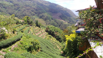 More Tea Plantations