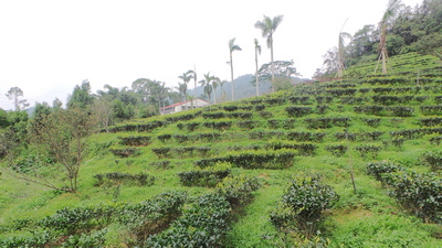 Old Tea Plantation