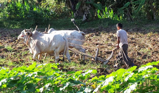 Ploughing with Oxen