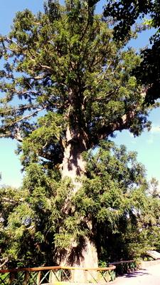Bilyhu Sacred Tree