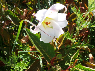Mountain Lilly