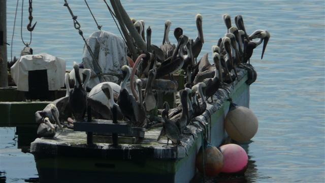 Pelican Boat